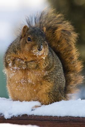 Chubby And Cute Fox Squirrel