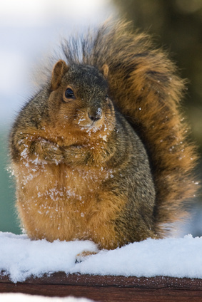Chubby And Cute Fox Squirrel